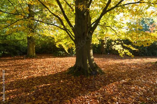 Fotografie, Obraz american beech tree