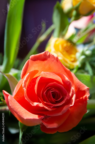 Orange rose with soft focus yellow rose behind and dark background