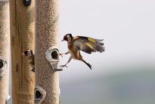 A Goldfinch Coming In To Land On A Bird Feeder