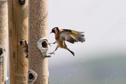 Fotografie, Tablou A goldfinch coming in to land on a bird feeder