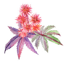 Watercolor Hand Painted Castor Plant Leaves And Flowers Illustration Isolated On White Background
