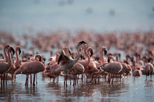Lesser Flamingos At Lake Bogoria