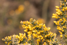 Vibrant Yellow Gorse Flowers