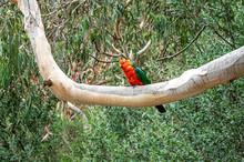 Male Australian King Parrot, Alisterus Scapularis, Perched On A Tree Branch, Kennett River, Victoria, Australia