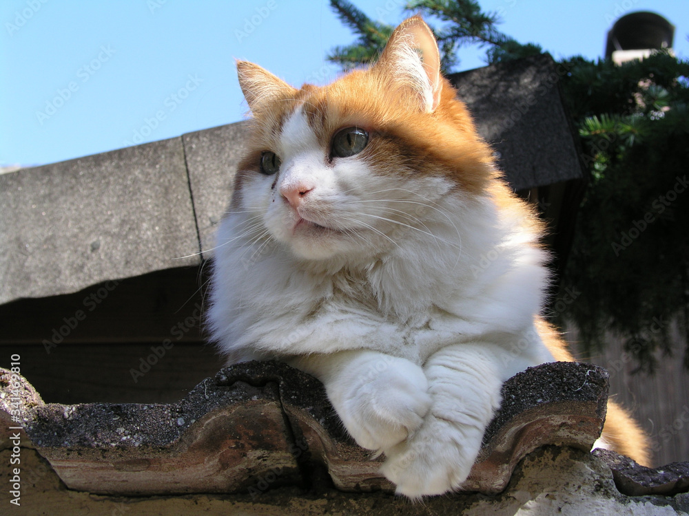 Fototapeta Felino Katze, weiß Braun, liegend Portrait