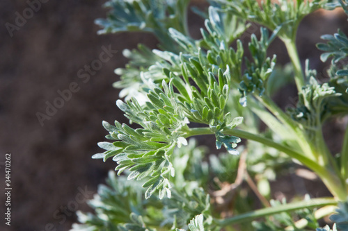 Wormwood leaves background Canvas Print