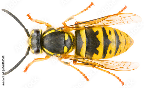 Valokuvatapetti Vespula vulgaris, known as the common wasp or European wasp or common yellow-jacket isolated on white background