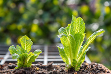 Close-up Of Young Romaine Lettuce Plants Growing In Flower Pot In Container Garden