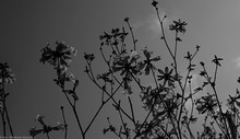 Flores No Inverno - Silhueta
