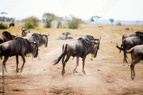 Fotografie, Obraz Great migration in Kenya