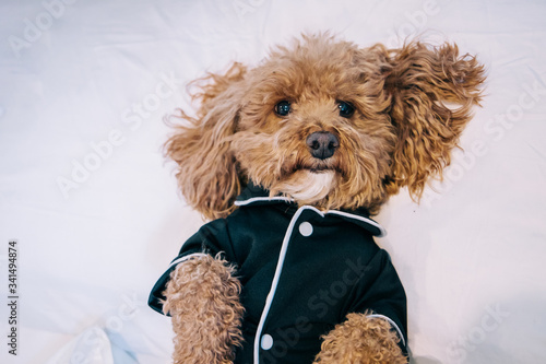 Photo Bichon poodle mix pet dog wearing black pajamas and laying in bed being lazy and