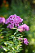 Pink Phlox In The Garden In Su...
