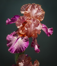 Close Up Of A Beautiful Peach And Magenta Iris Flower With Its Graceful Frilly Petals.