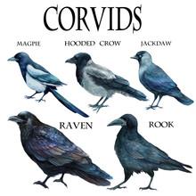 Watercolor Illustration Ornithology Corvidae Family