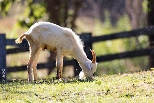 Fotografie, Tablou In the morning, the young goat was happily eating grass.