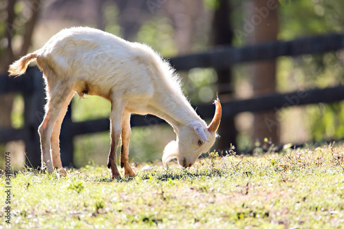 In the morning, the young goat was happily eating grass. Fototapet