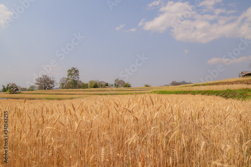 Barley fields on the golden-yellow farm are beautiful and awaiting seasonal harvesting Canvas Print