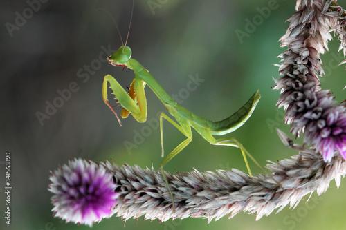 Obraz na plátně praying mantis on a branch