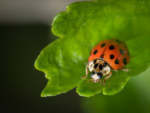 An Adult Asian Ladybeetle Sitting On A Green Leaf