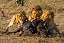 Three Male Lion Feed On Cape Buffalo