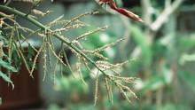 Pine Cone Flower In A Garden Plant