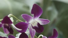 Christmas Orchid Flower In A Garden Plant