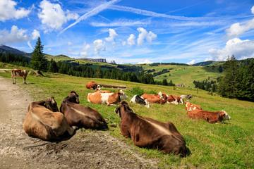 mucche al pascolo, Alpe di Siusi