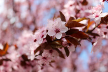 Pink Cherry Plum Blossom. The Cherry Plum Is A Popular Ornamental Tree For Garden And Landscaping Use. Purple-leaf Tree, Prunus Cerasifera Nigra, Family Rosaceae, Wild Plums Flower At Full Bloom.