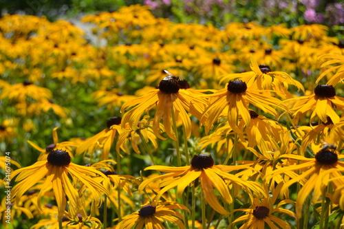 Close-up Of Black-eyed Susan Flowers Blooming At Park Fototapet