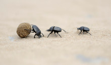 Dung Beetles On Beach Sand Wit...