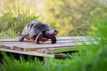 Red Foot Tortoise In Garden