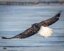 Bald Eagle Flying And Soaring Over The Mississippi River On A Winter Day