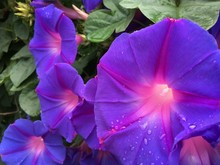 Close Up Of Violet Morning Glo...