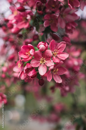 Fototapety, obrazy: close up of pink flowers in spring garden
