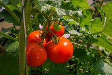 Beautiful Red Ripe Heirloom Tomatoes Grown In A Greenhouse.