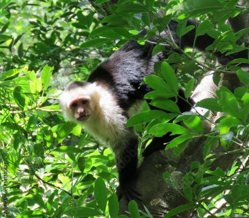 Fotografering capuchin monkey looking at camera