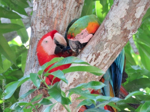 Photo scarlet macaws in a tree