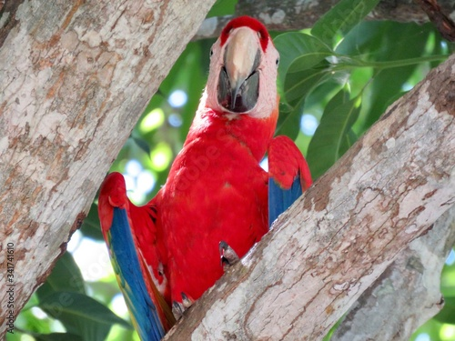 Photo scarlet macaw parrot