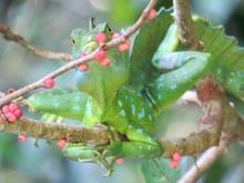 Green Basilisk On A Branch