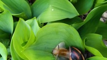 Snail Crawling On The Green Leaves Of Lily Of The Valley. Helix Pomatia, The Roman Or Edible Burgundy Snail Mollusk.Escargot Slowly Creep In Garden On Rainy Weather.Beautiful Spring May-lily Flower HD