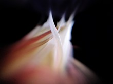 Close-up Of Night-blooming Cereus