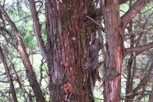 Baby Squirrel With Mouth Open On Side Of Pine Tree