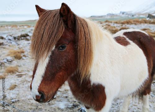 Icelandic Horse - Iceland