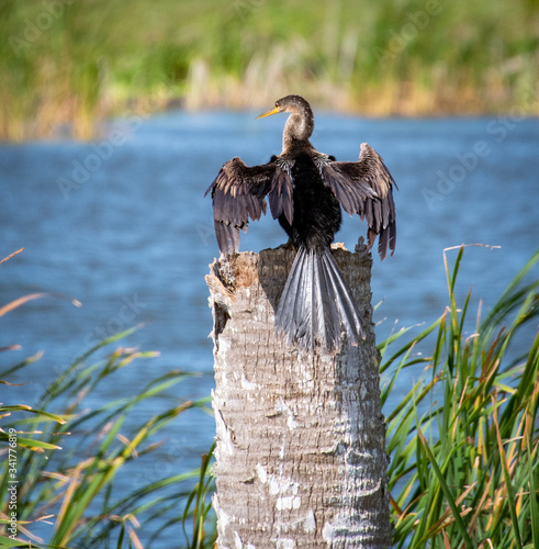 Brown Anhinga flying over lake in Gainesville wetlands in Florida Canvas Print