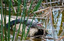 American Alligator Sitting On Hollow Log In Wetland Marsh In Viera Florida.