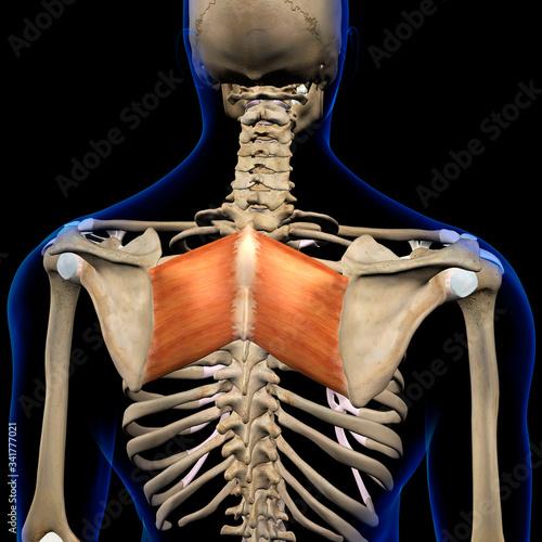 Fototapeta Rhomboid Major Muscles in Isolation Rear View of Upper Back Human Anatomy