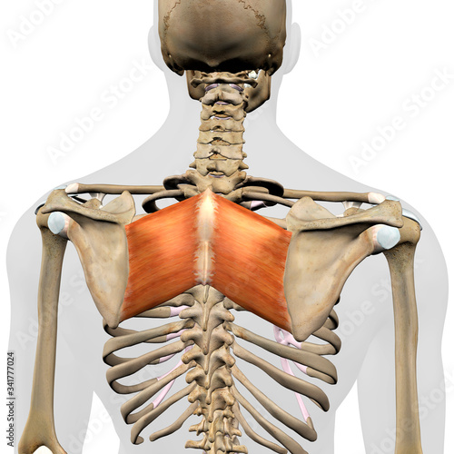 Fotomural Rhomboid Major Muscles in Isolation Rear View of Upper Back Human Anatomy