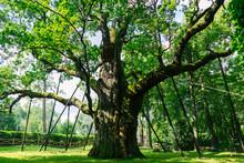 Dąb Bartek Drzewo Stare Ogromne Duże Pomnik Przyrody Cud Natury Las Muzeum