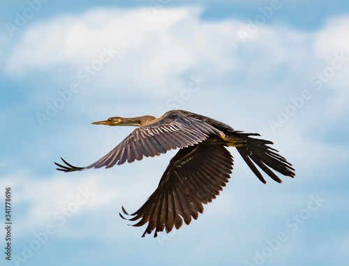 Photo Brown Anhinga flying over lake in Gainesville wetlands in Florida