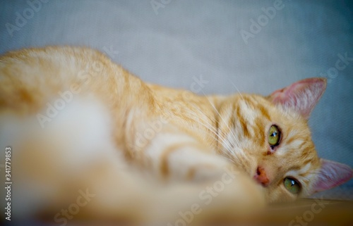 Fototapeta Rudy kot leży oczy futro obraz